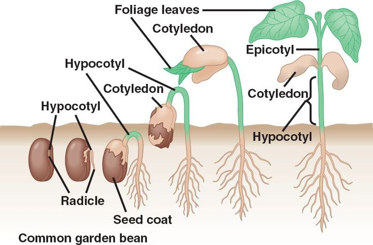 diagram of a bean plant a diagram of a cochlea spiral organ region of all categories - ms. lohitsa's science classes!